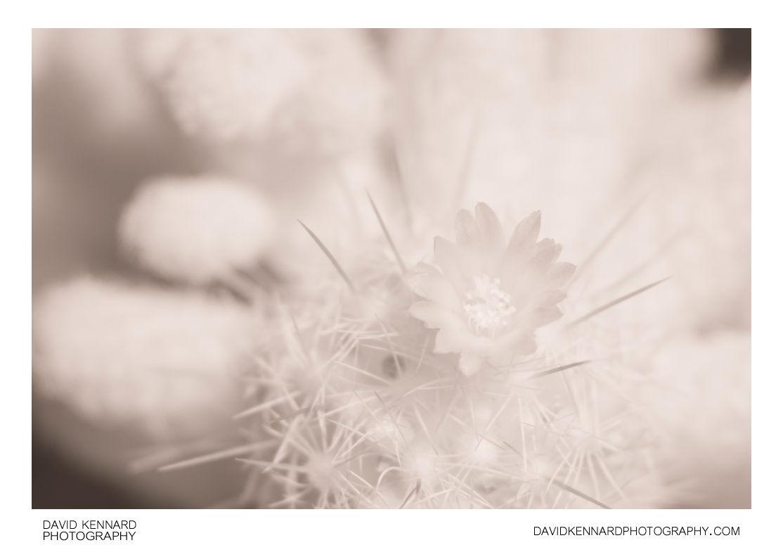 Small cactus flower [IR]