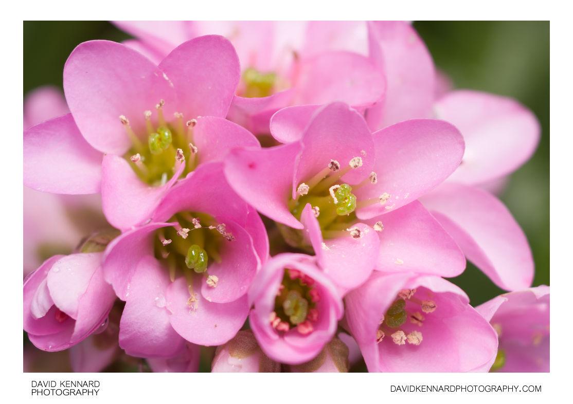 Pink Bergenia crassifolia (Elephant's ears) flowers