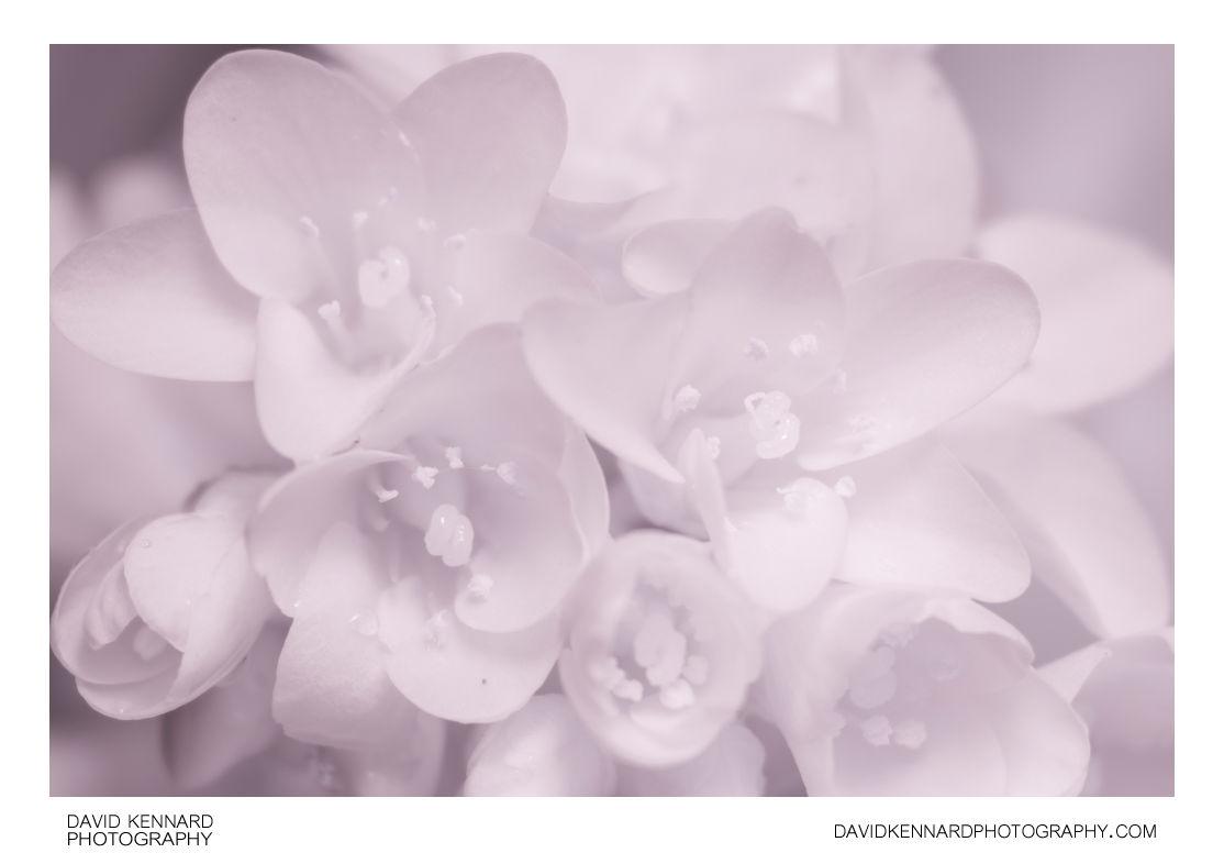 Pink Bergenia crassifolia (Elephant's ears) flowers [IR]
