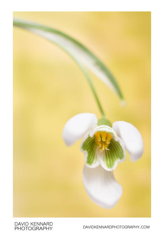 Galanthus nivalis (Common Snowdrop) flower