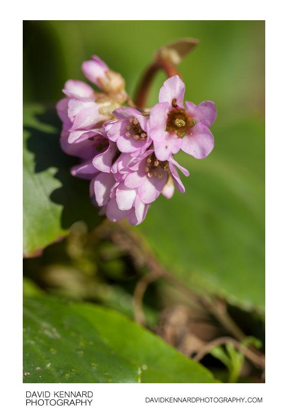 Bergenia crassifolia in flower