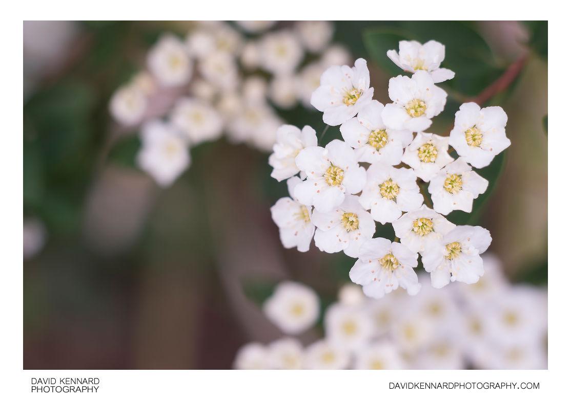 White Spirea flowers