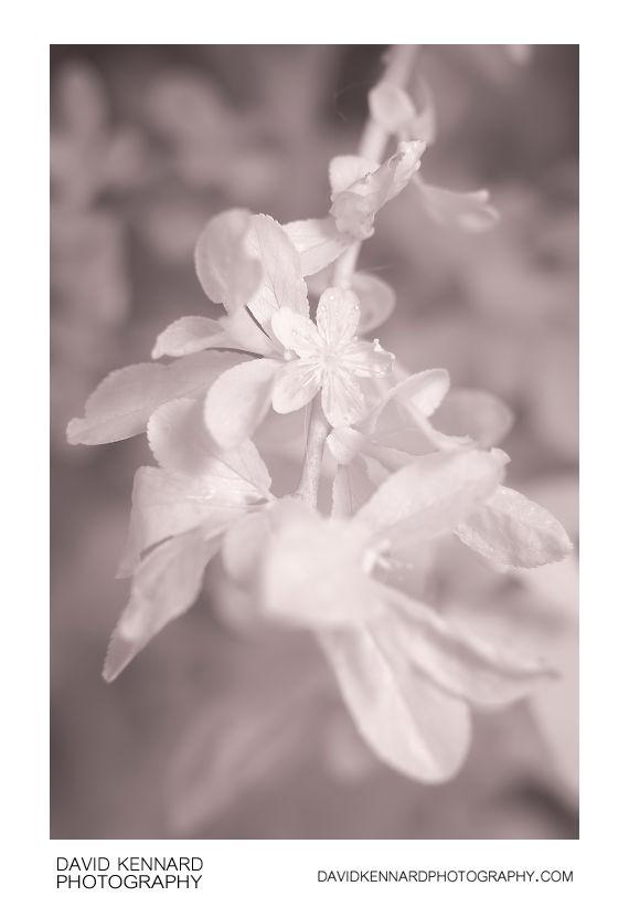 Prunus spinosa (Blackthorn) late flower [IR]