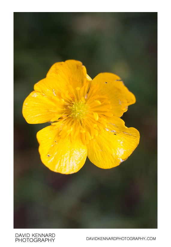 Ranunculus acris (Meadow buttercup) flower