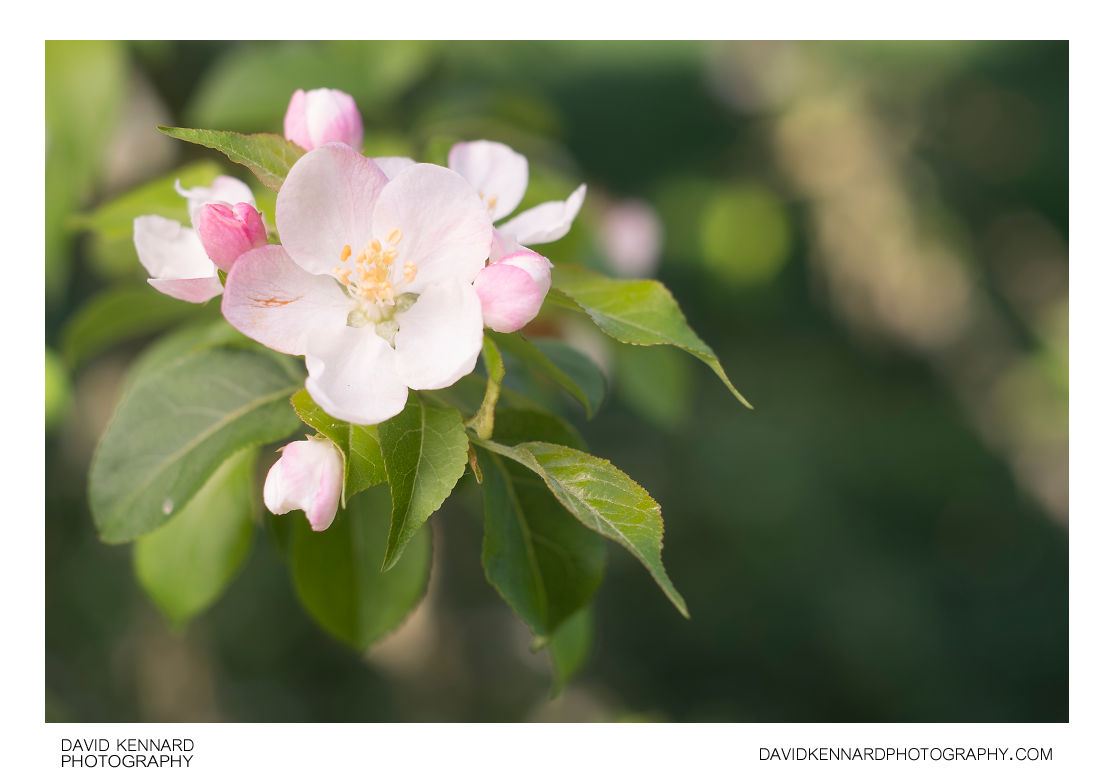 Malus sylvestris (European Crabapple) flower