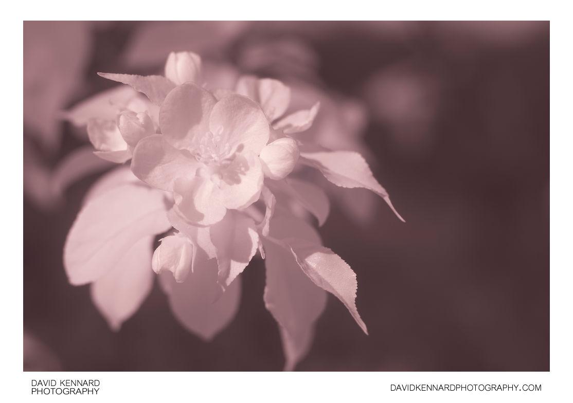 Malus sylvestris (European Crabapple) flower [IR]