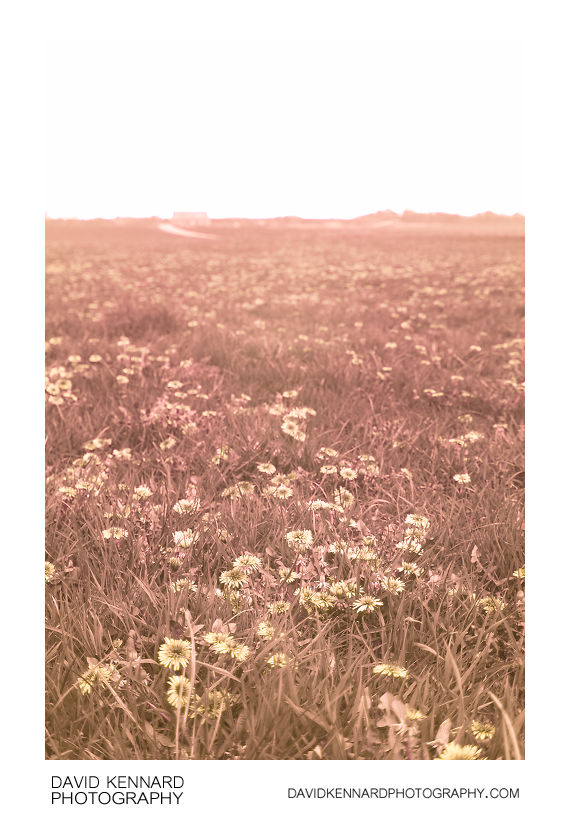 Field of Dandelions in UV