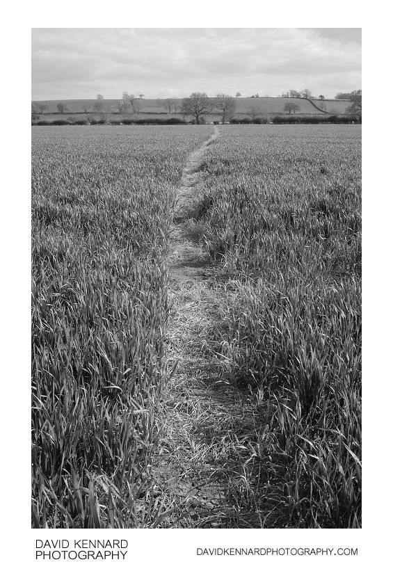 Path through young wheat field
