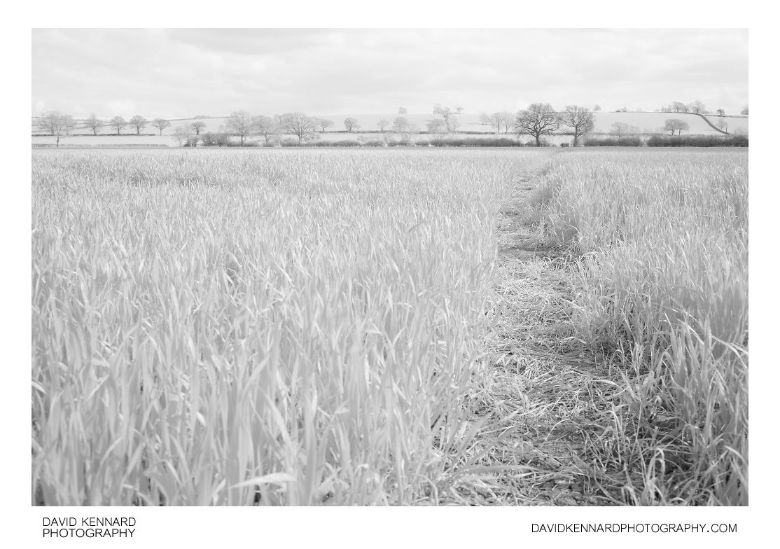 Path through wheat field [Vis + IR]