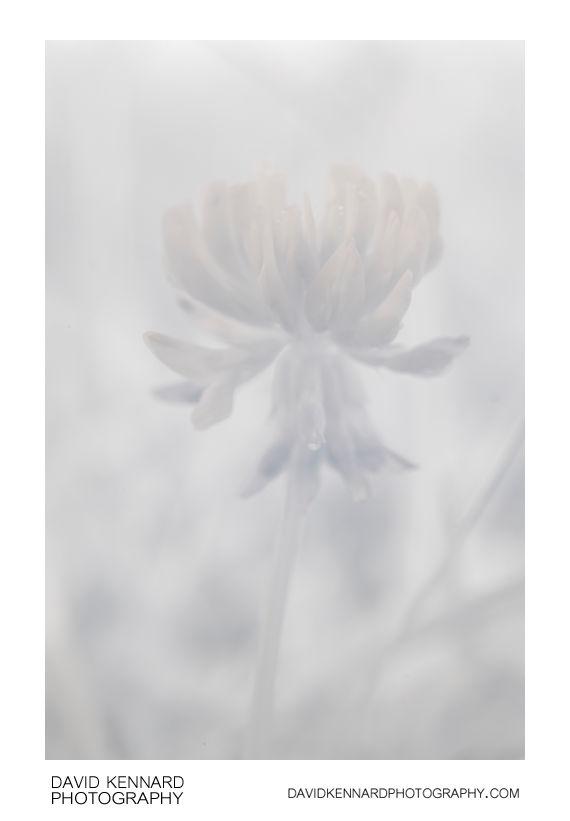 Trifolium repens (White Clover) flower head