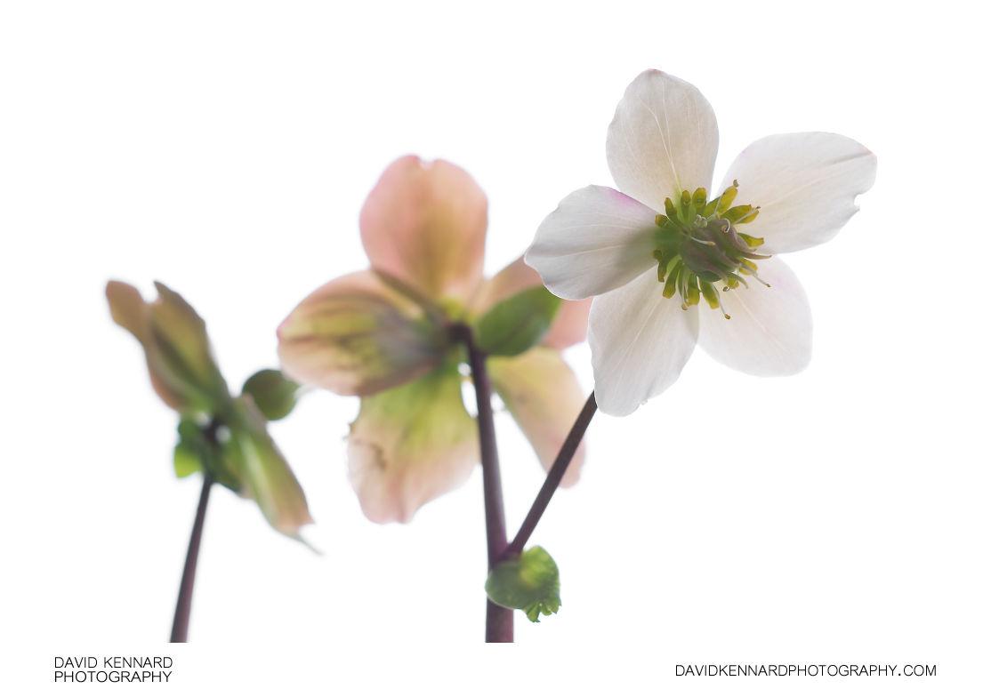 Helleborus niger flower