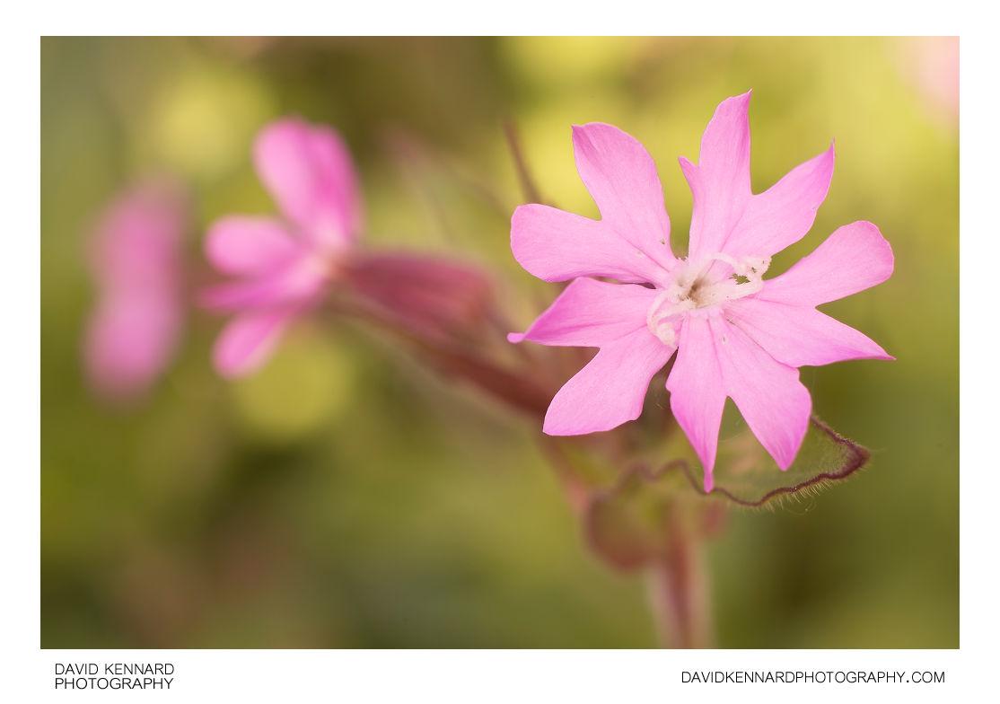 Red Campion (Silene dioica) flower female