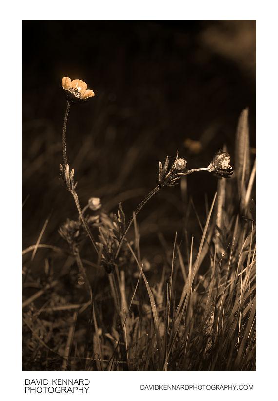 Ranunculus bulbosus (Bulbous buttercup) [UV]