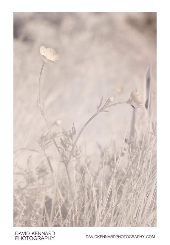 Ranunculus bulbosus (Bulbous buttercup) [IR]