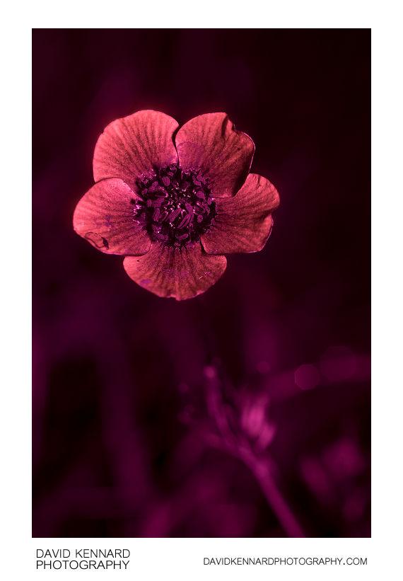 Ranunculus bulbosus (Bulbous buttercup) flower [UV]