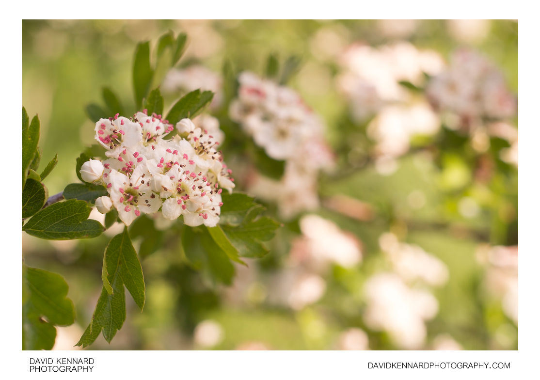 Crataegus monogyna (Common Hawthorn) blossom