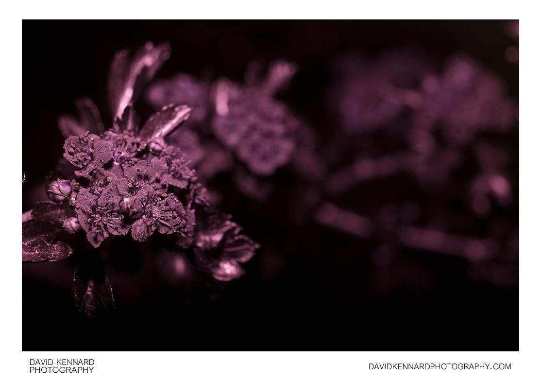 Crataegus monogyna (Common Hawthorn) blossom [UV]