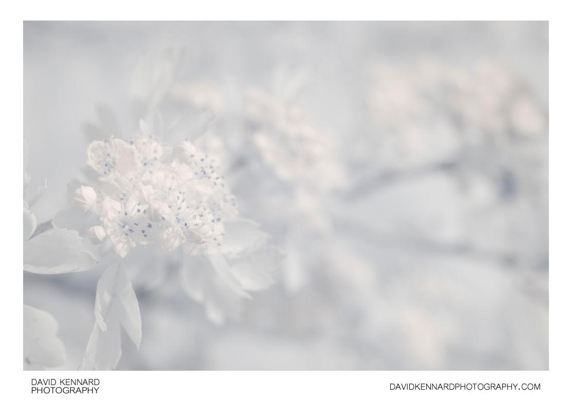 Crataegus monogyna (Common Hawthorn) blossom [IR]