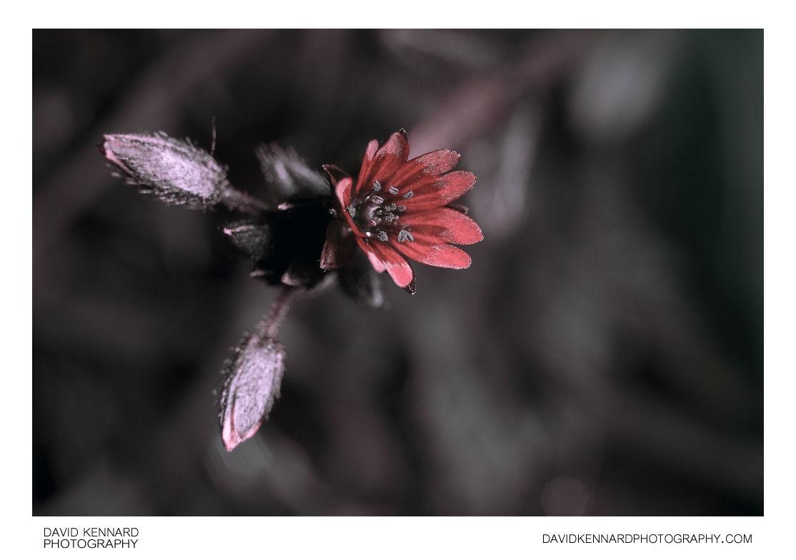 Cerastium fontanum (Common mouse-ear chickweed) flower [UV]