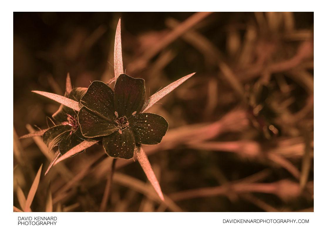 Agrostemma githago (Common corn-cockle) flowers [UV]