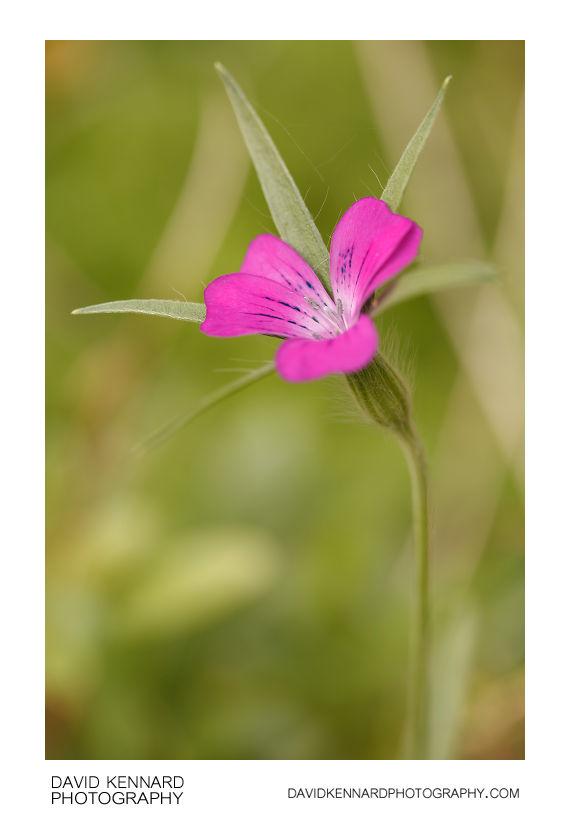 Agrostemma githago (Common corn-cockle) flower