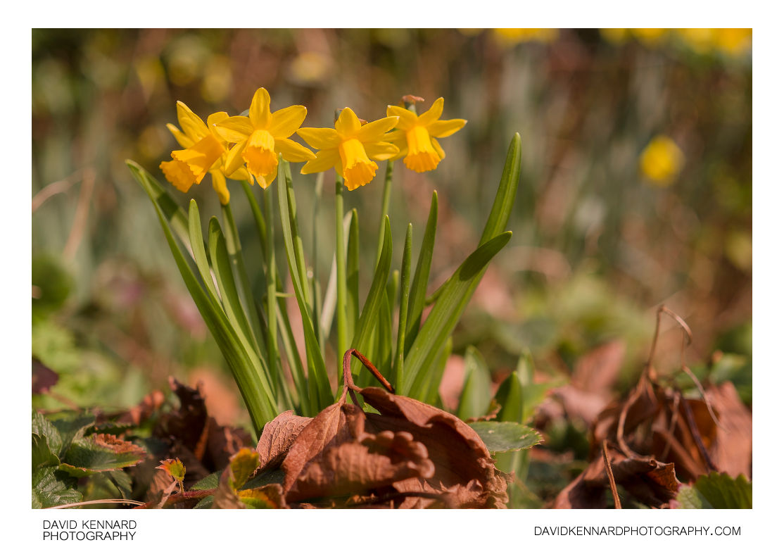 Narcissus cyclamineus 'Tête-à-tête' in flower