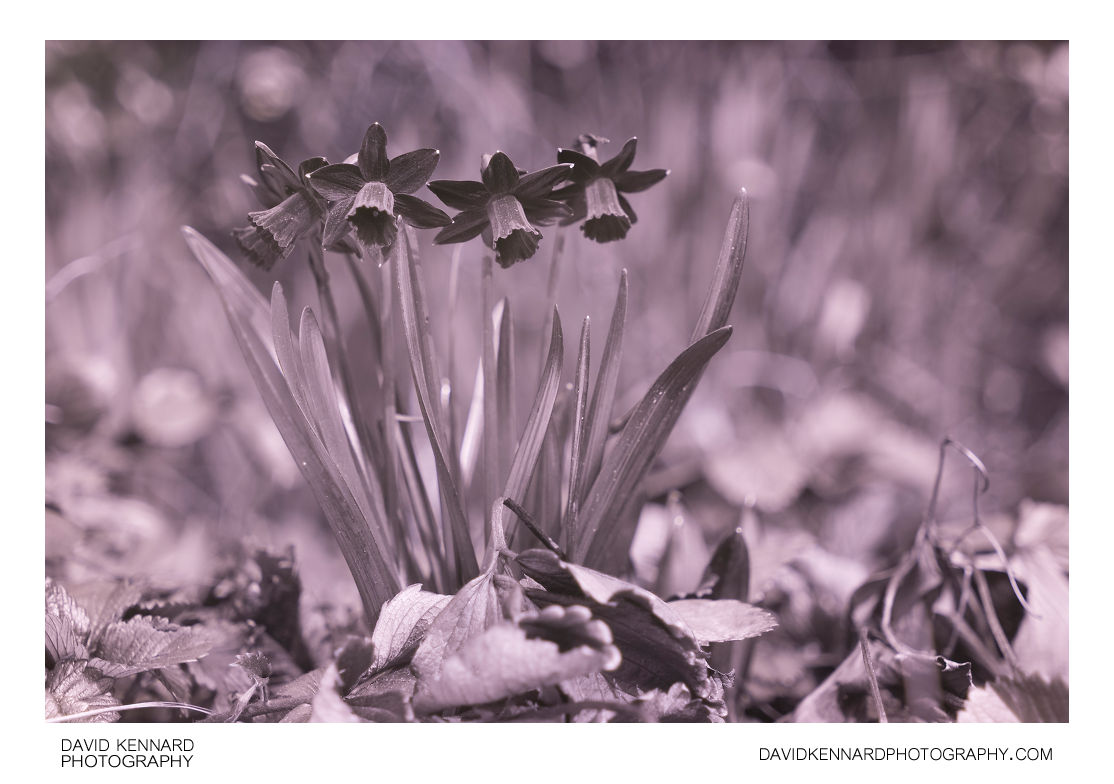 Narcissus cyclamineus 'Tête-à-tête' [UV]