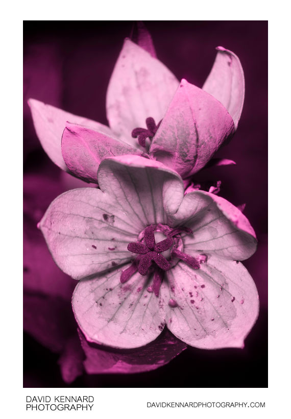 Platycodon grandiflorus 'Astra Pink' flower [UV]