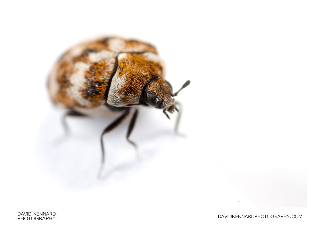 Varied Carpet Beetle (Anthrenus verbasci)