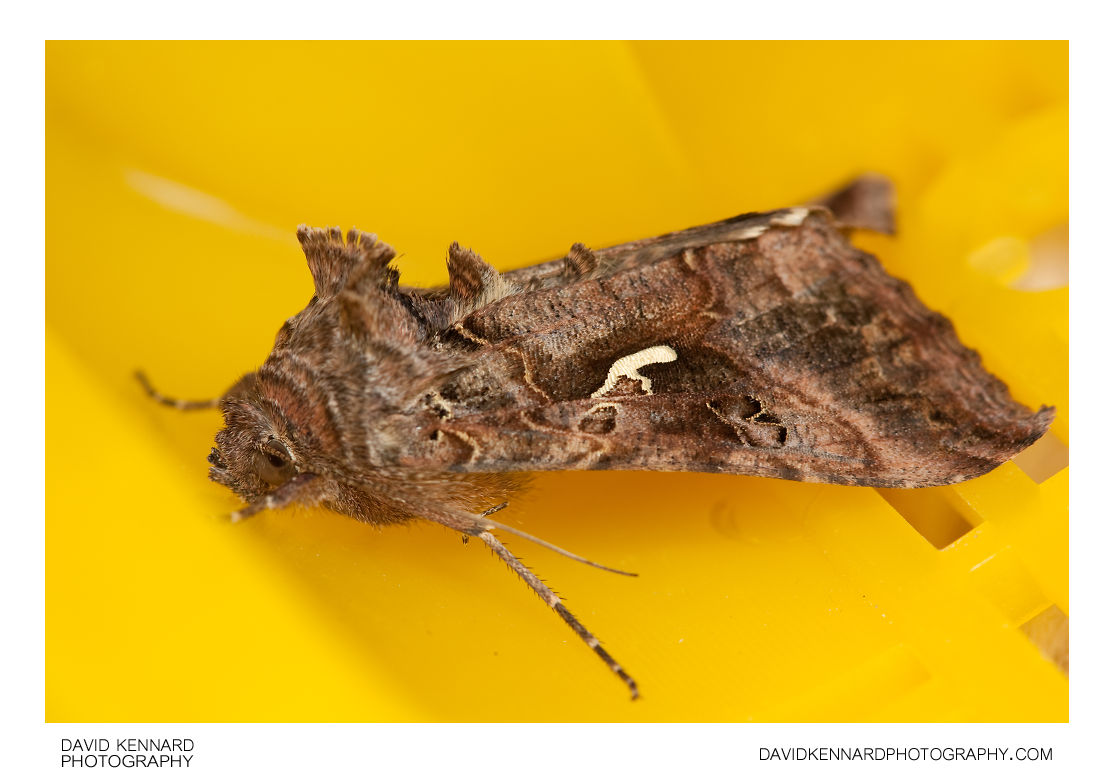 Silver Y Moth (Autographa Gamma) · David Kennard Photography