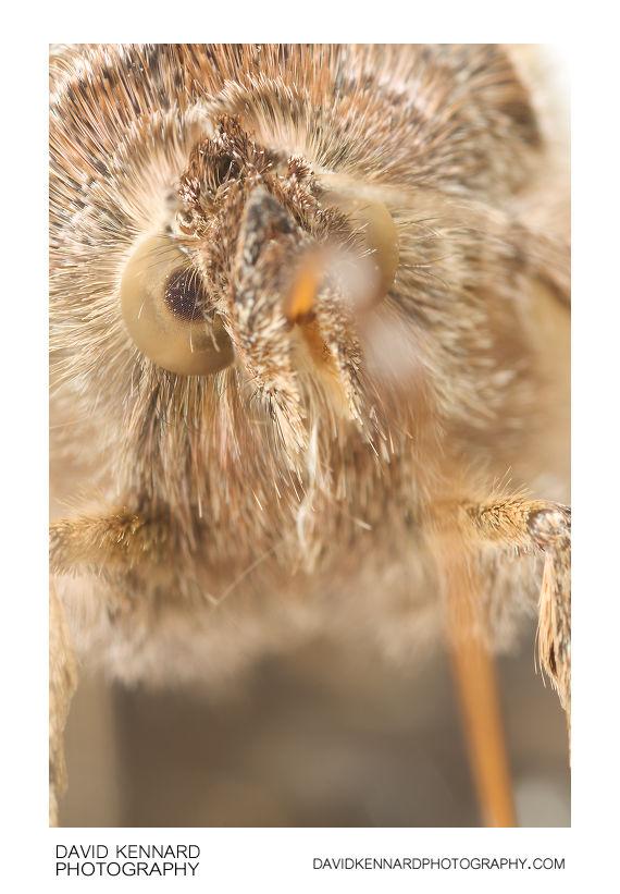 Silver Y (Autographa Gamma) Moth