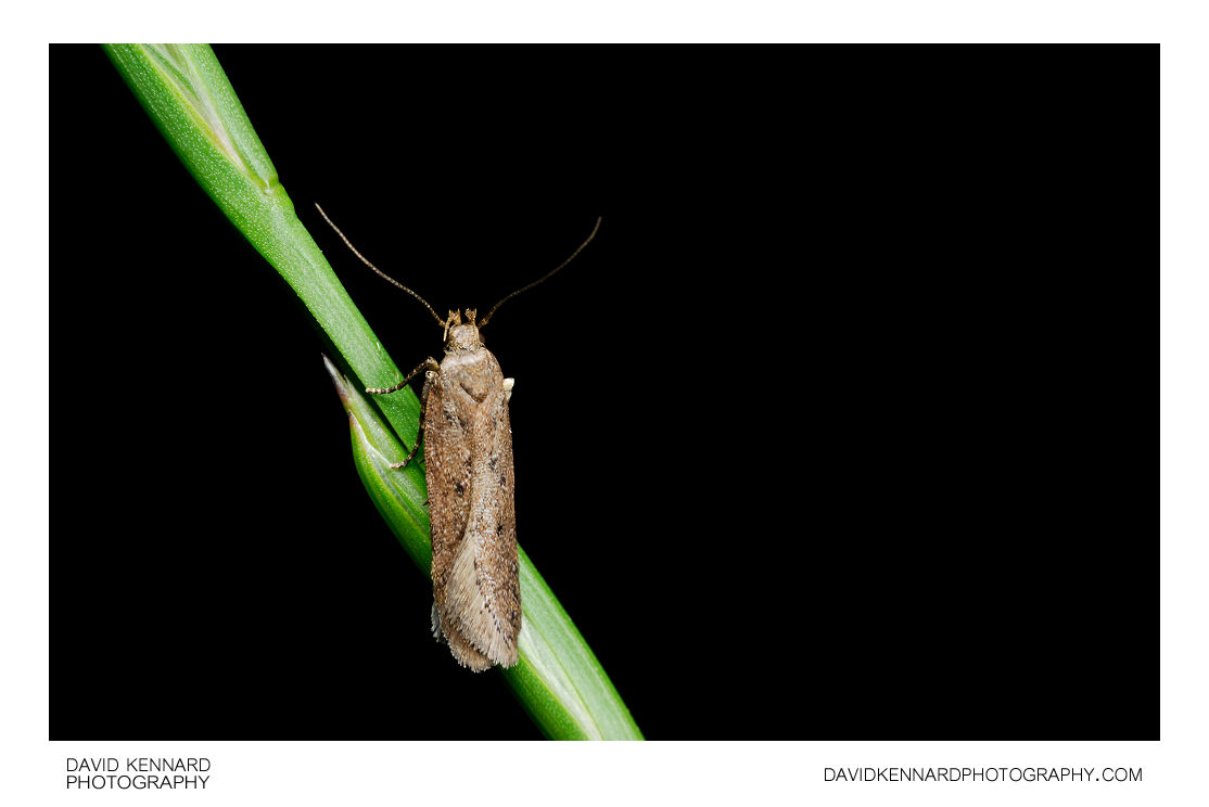 Bryotropha sp. Moth on grass