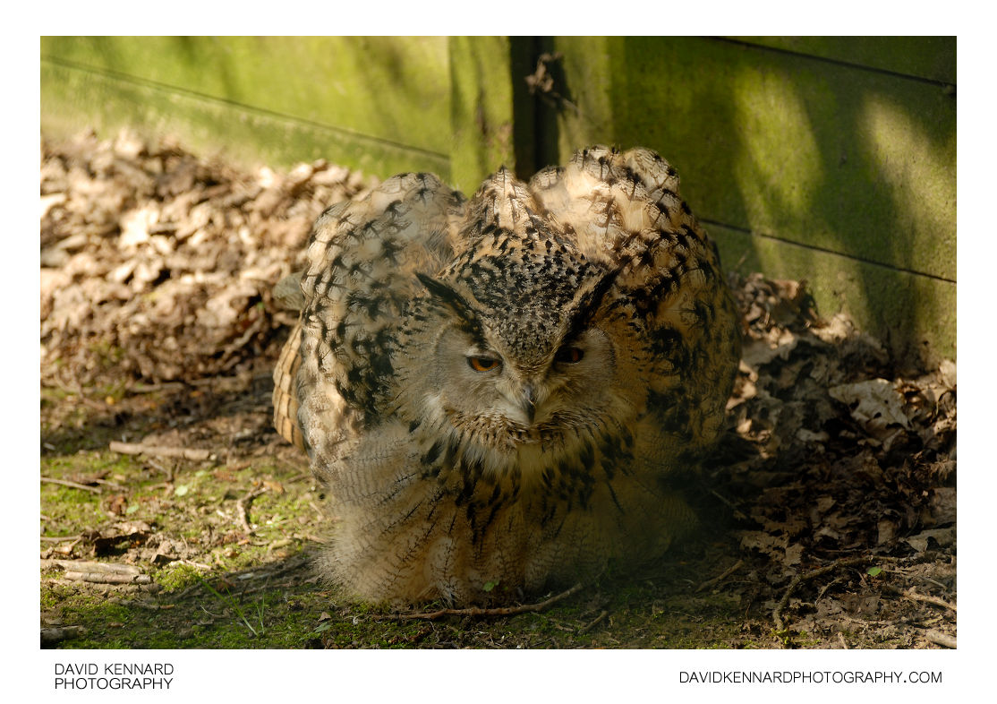 Turkmenian Eagle Owl (Bubo bubo turcomanus)