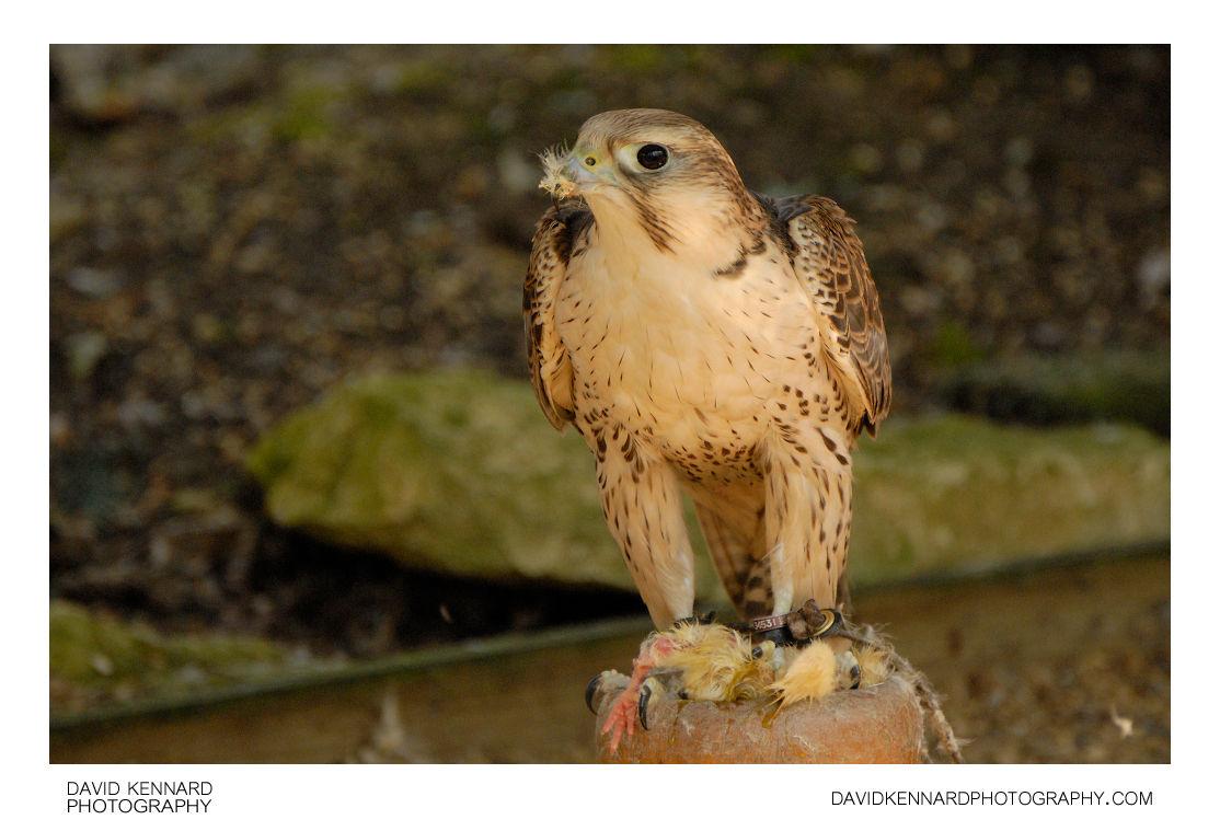 Captive Falcon eating a chick