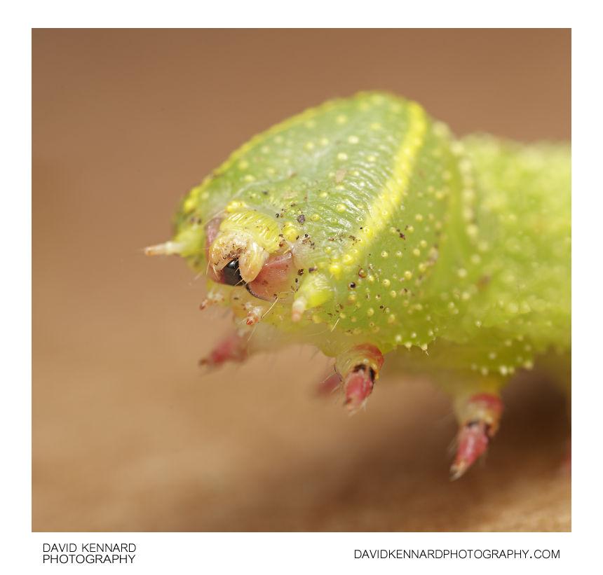 Poplar Hawk-moth (Lathoe populi)