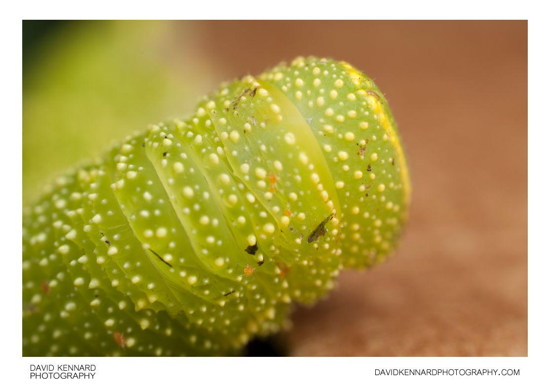 Poplar Hawk-moth (Laothoe populi) caterpillar's back