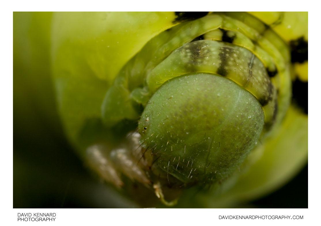 Elephant Hawk-moth (Deilephila elpenor) Caterpillar (green)