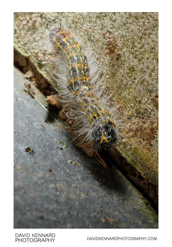 Buff-tip Moth (Phalera bucephala) Caterpillar