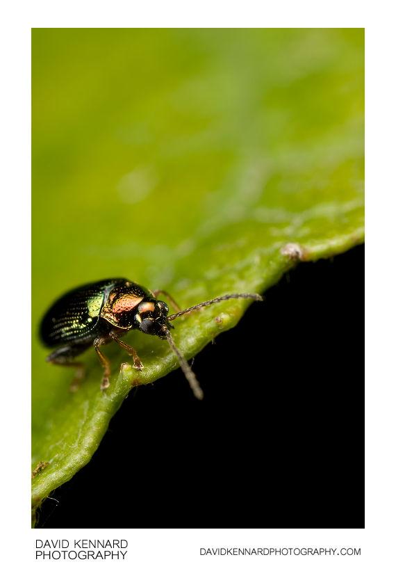 Crepidodera aurata flea beetle