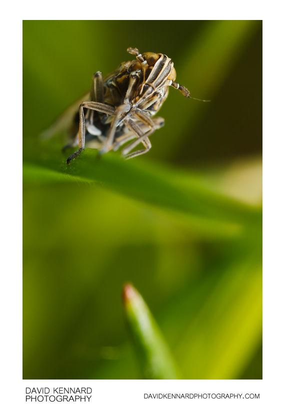 Javesella pellucida planthopper
