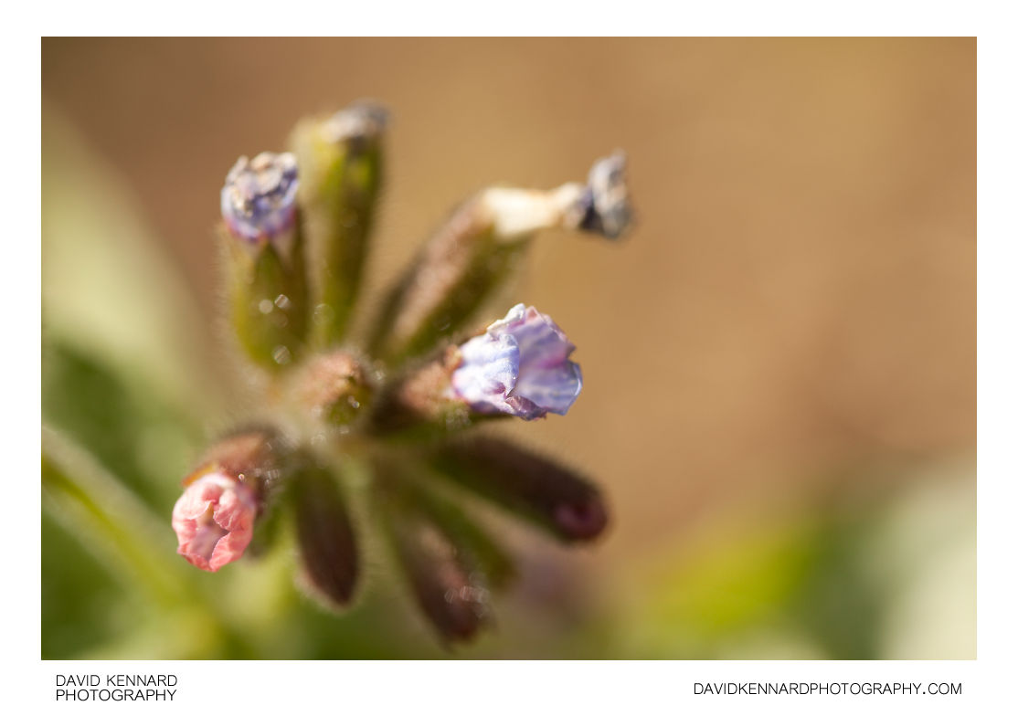 Pulmonaria Opal Lungwort flowers
