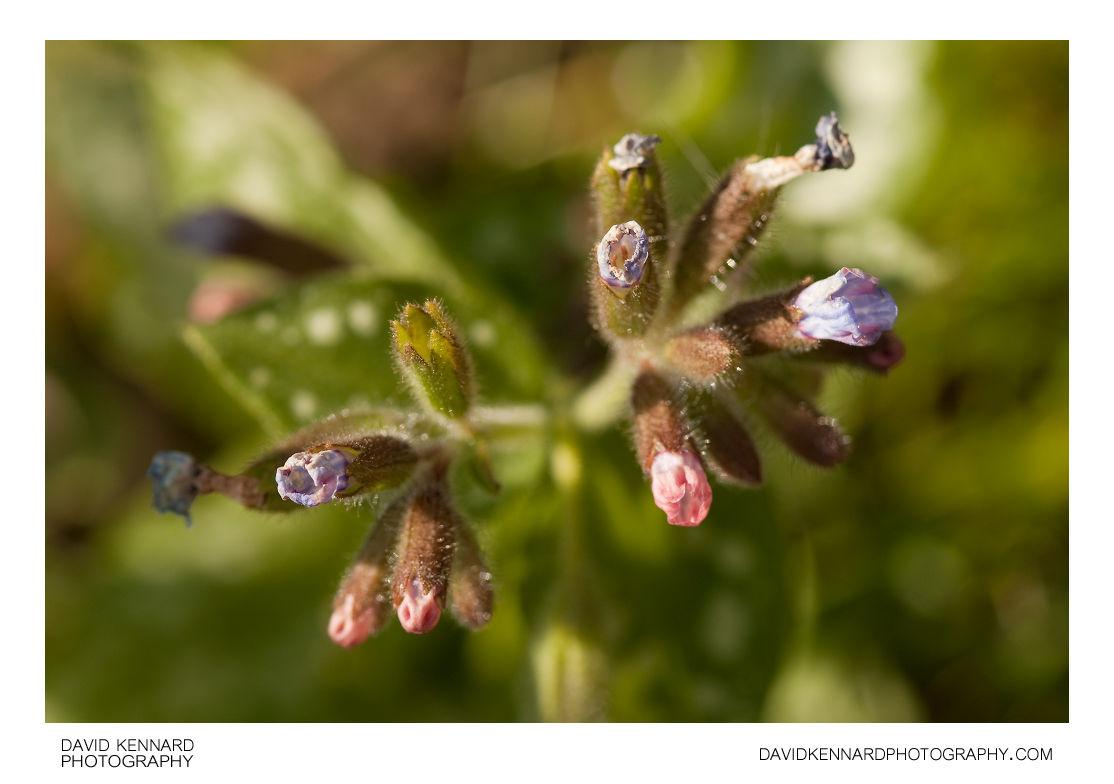 Pulmonaria Opal Lungwort flowers