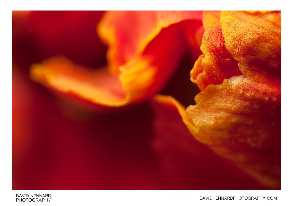 Wallflower flower