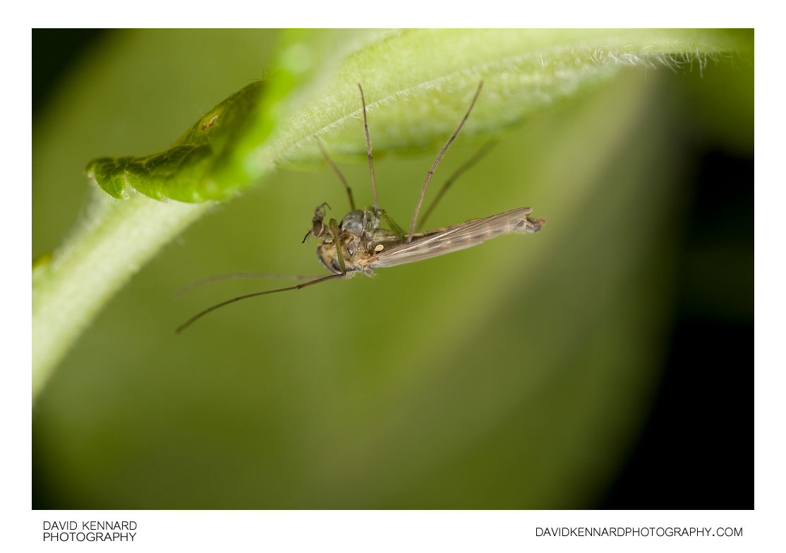 Chironomid fly
