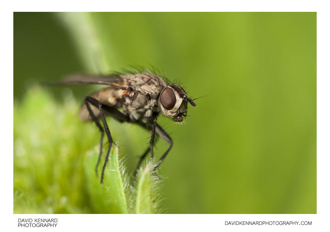 Leucophora sp. fly