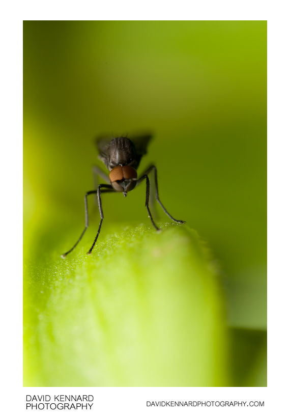 Bicellaria sp. Hybotid Dance fly