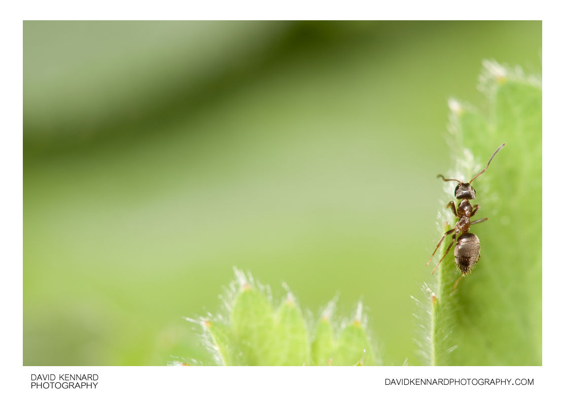 Black garden ant on Lady's Mantle