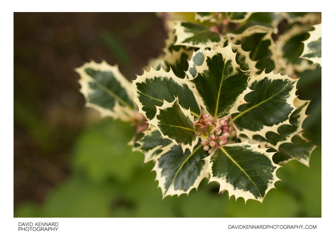 Ilex aquifolium 'Silver Queen' European Holly