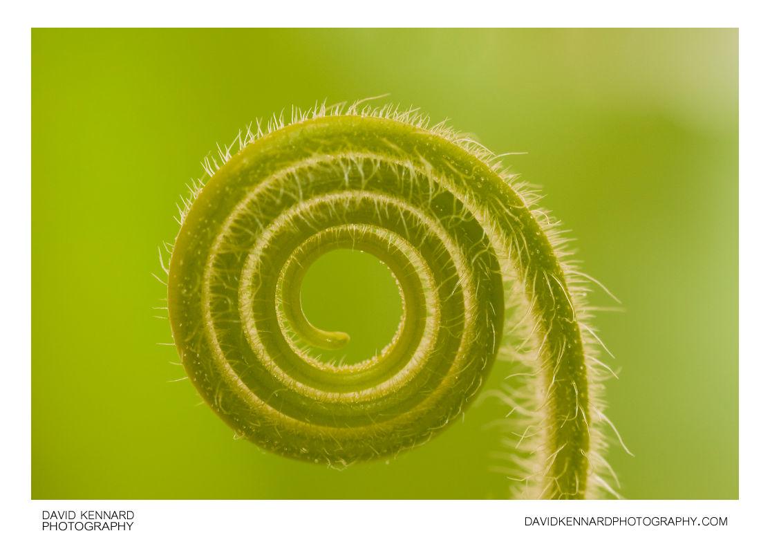 Butternut squash (Cucurbita moschata) tendril