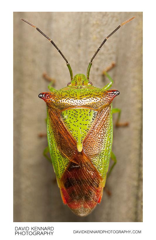 Hawthorn shield bug (Acanthosoma haemorrhoidale)